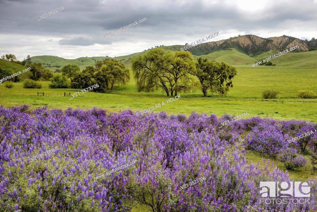 Imagen: Lupine in the Foothills San Benito County.