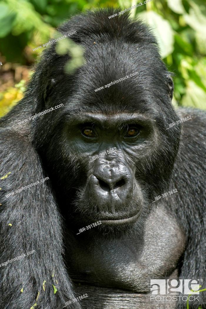 Stock Photo: Mountain Gorilla (Gorilla beringei beringei), male, Bwindi Impenetrable National Park, Uganda.