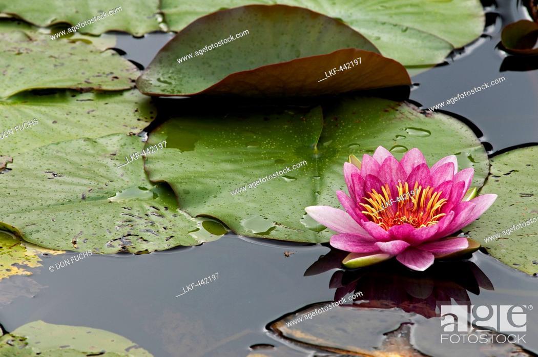 Stock Photo: Water lilly on lake Schwansee, Schwangau, Bavaria, Germany.