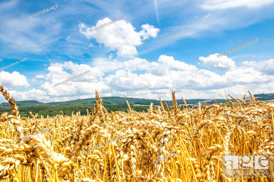 Stock Photo: Wheat field between Dankelshausen and Bühren, Samtgemeinde Dransfeld, Göttingen District, Lower Saxony, Germany, summer 2017 / Weizenfeld zwischen Dankelshausen.