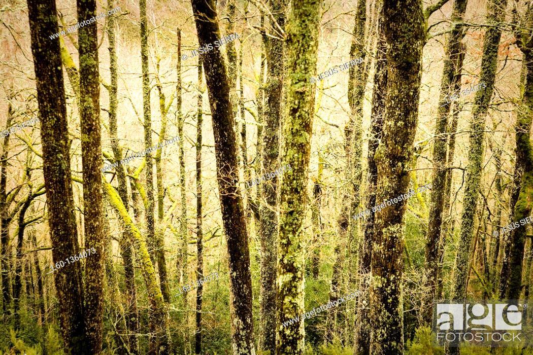 Stock Photo: Oak trees  Muniellos  Asturias  Spain.