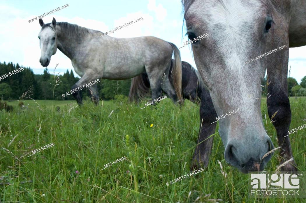 Stock Photo: Horses. Bükk National Park. North Hungary.