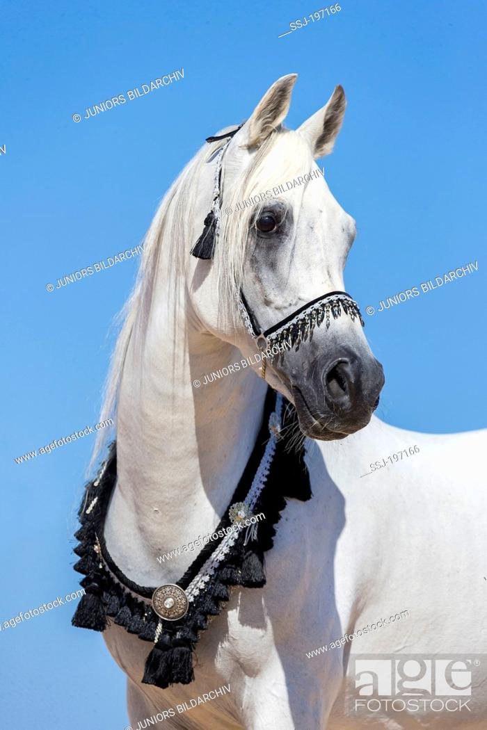 Arabian Horse Portrait Of Gray Stallion With Traditional Tack Egypt Stock Photo Picture And Rights Managed Image Pic Ssj 197166 Agefotostock