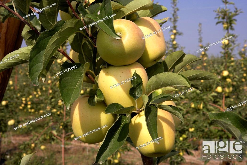 Stock Photo: Apple golden on a fruit tree  LLeida  Spain.