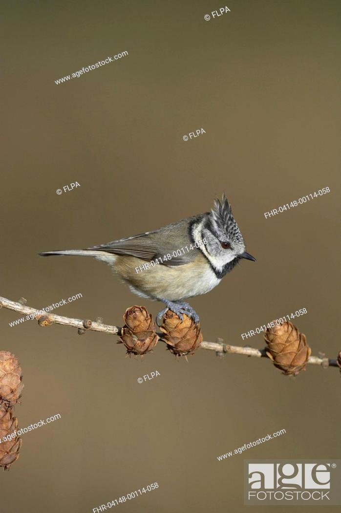 Stock Photo: Crested Tit Parus cristatus adult perched on larch cones, Inverness-shire, Scotland, winter.