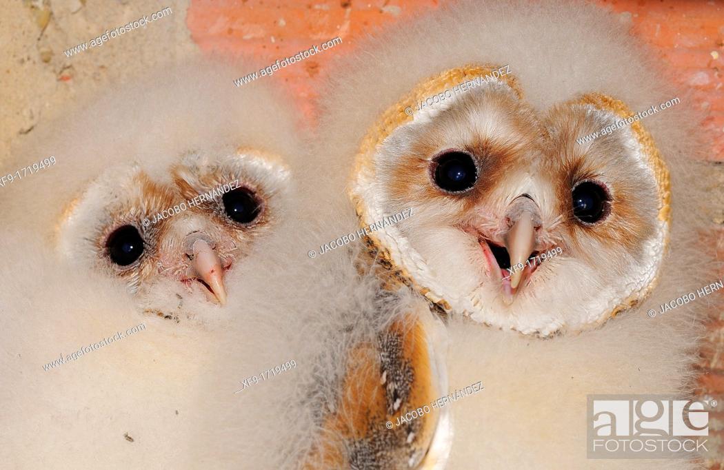 Stock Photo: Barn Owl Tyto Alba Extremadura  Spain.