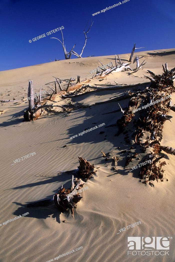 Stock Photo: Ghost forest, Umpqua Dunes Scenic Area, Oregon Dunes National Recreation Area, Oregon.
