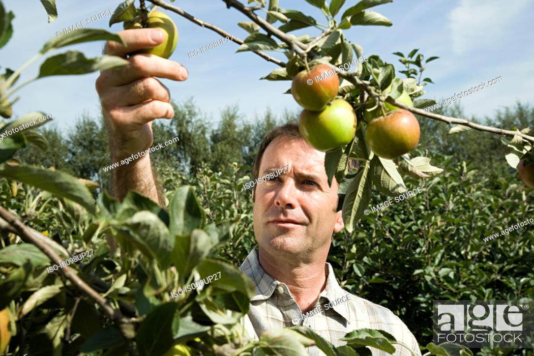 Stock Photo: Man picking fresh apples.