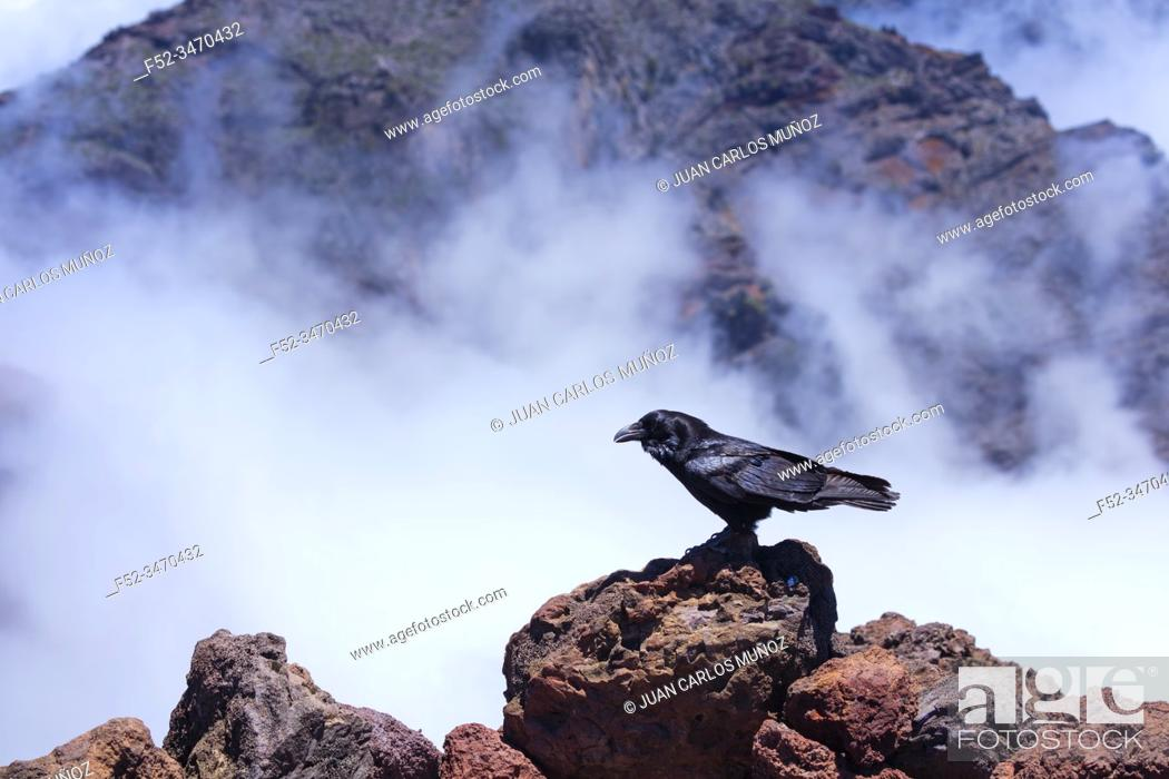 Stock Photo: Common raven, Corvus corax, Caldera de Taburiente National Park, La Palma island, Canary Islands, Spain, Europe, Unesco Biosphere Reserve.