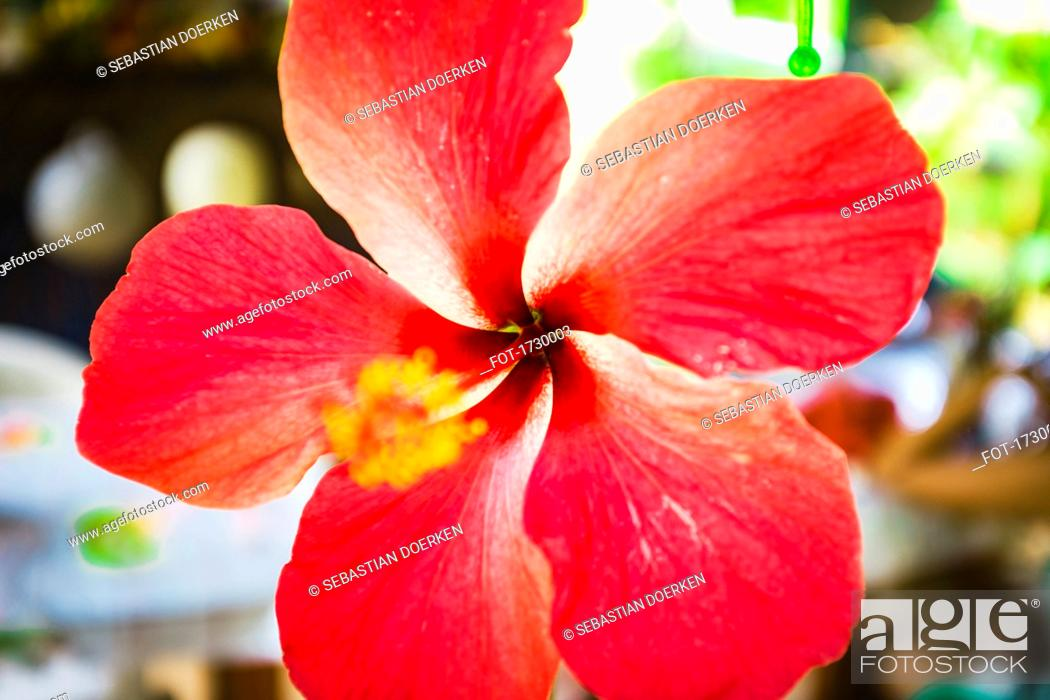 Stock Photo: Close-up of hibiscus.