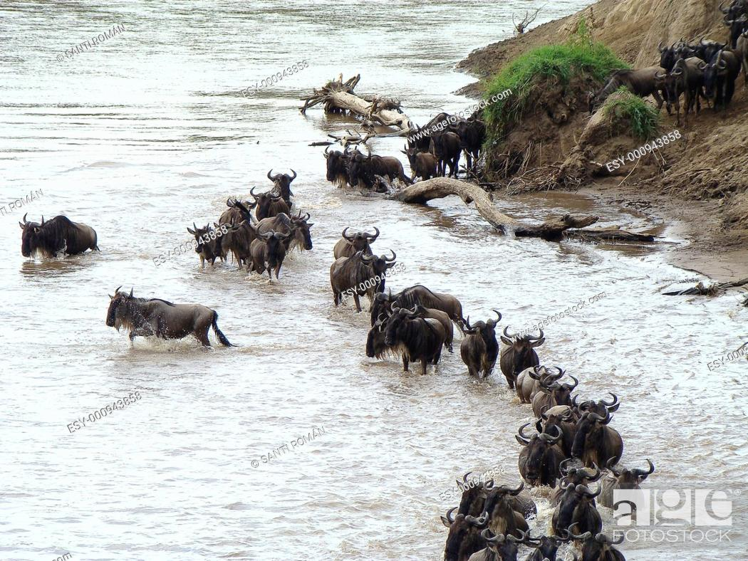 Stock Photo: Brindled Gnus, Migration Connochaetus taurinus. Masai Mara G.R., Kenya.