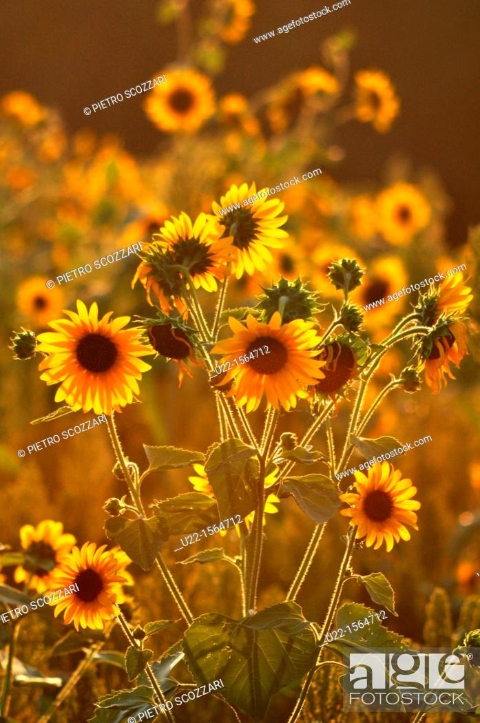 Stock Photo: Crespellano (Bologna, Italy): sunflowers in a field at sunset.