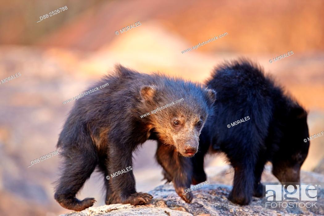 Stock Photo: Asia, India, Karnataka, Sandur Mountain Range, Sloth bear Melursus ursinus, baby.