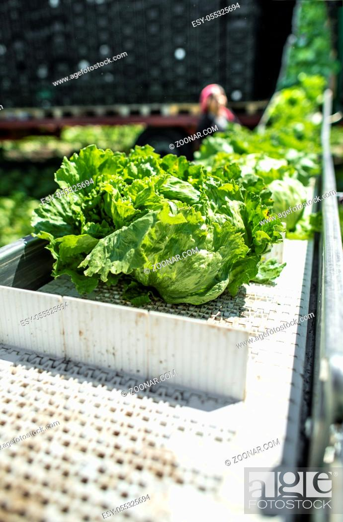 Stock Photo: Tractor with production line for harvest lettuce automatically. Lettuce iceberg picking machine on the field in farm. Concept for automatization in the.