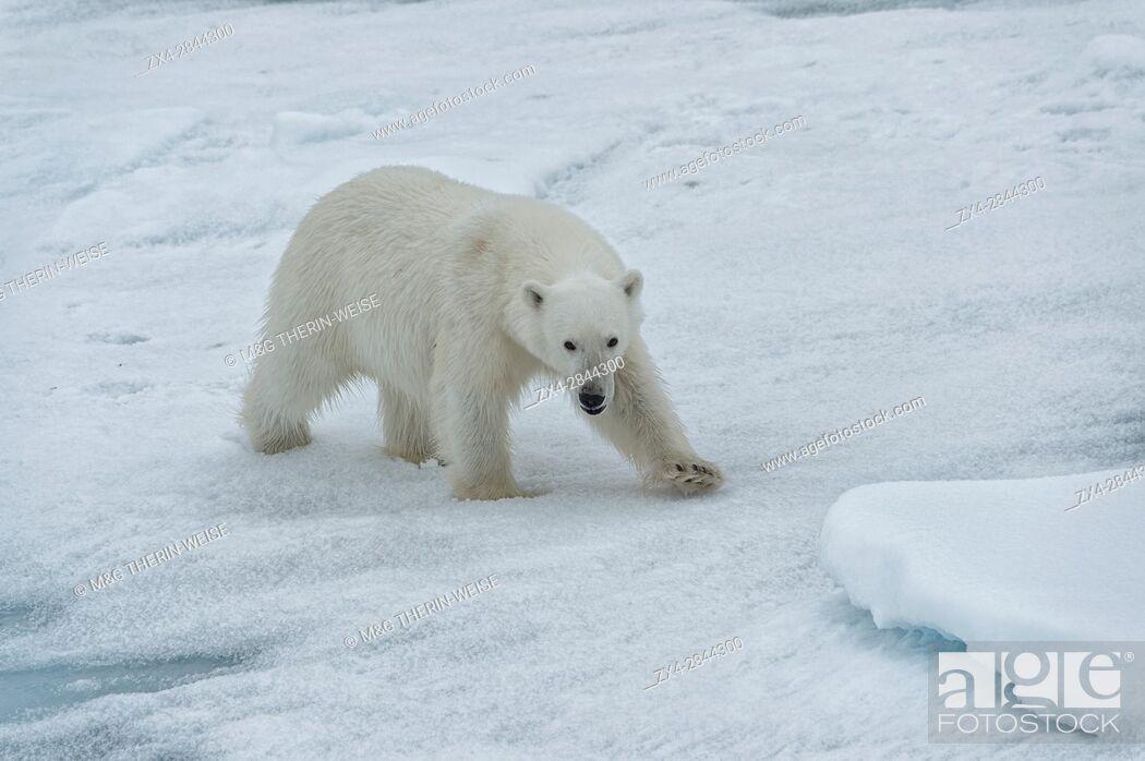 Photo de stock: Female Polar bear (Ursus maritimus) walking on pack ice, Svalbard Archipelago, Barents Sea, Norway, Arctic, Europe.
