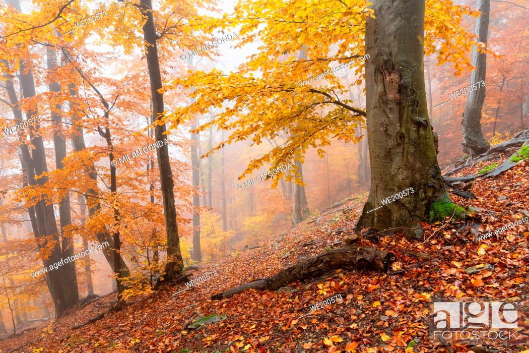 Stock Photo: Beech forest in Mala Fatra national park on a foggy day, Slovakia.
