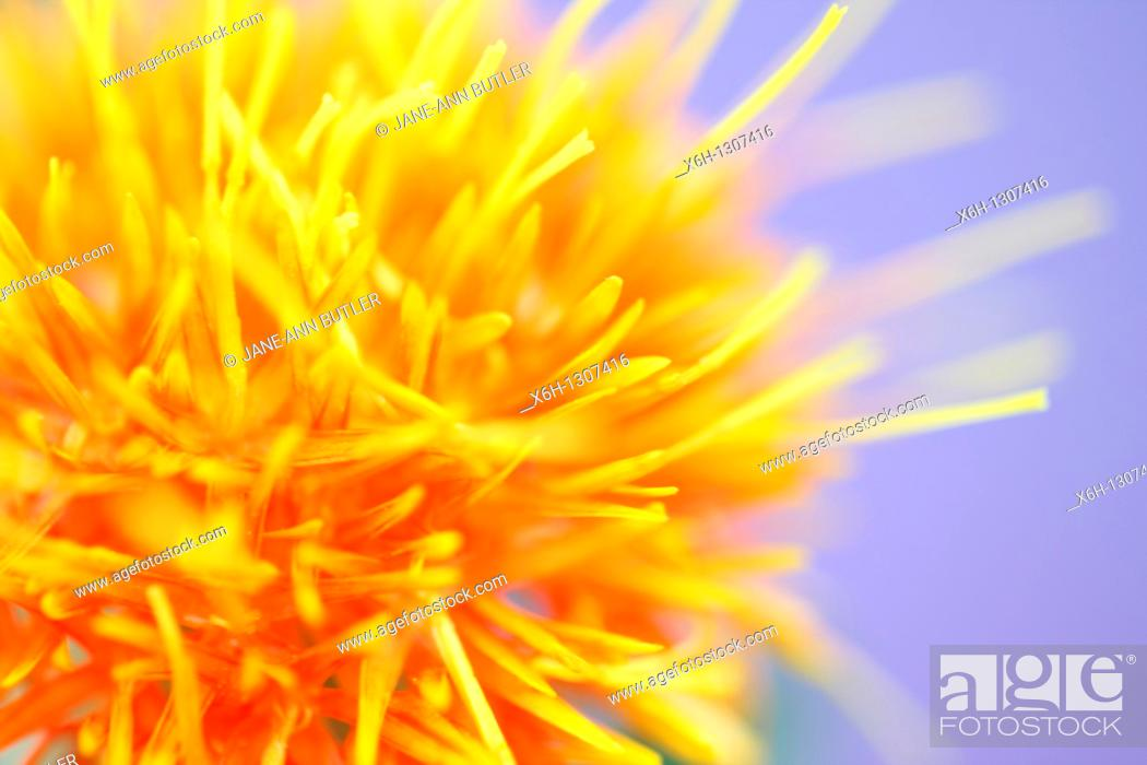 Stock Photo: Beautiful Close Up of the Safflower.