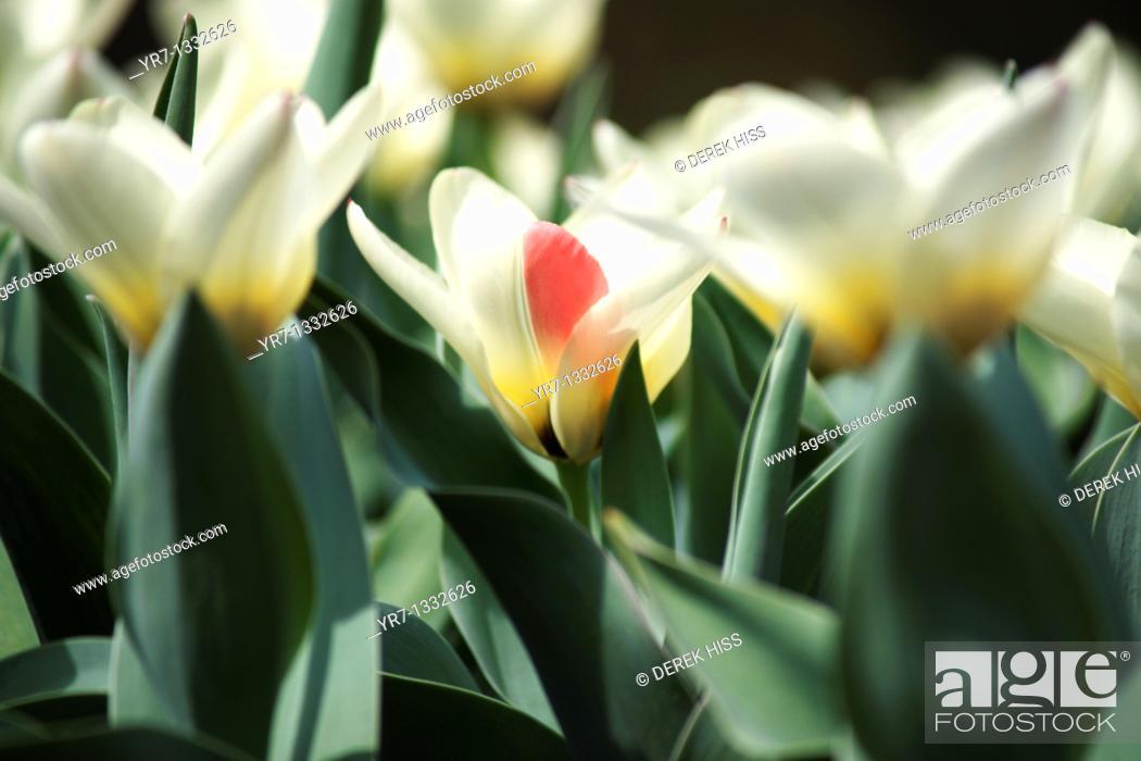 Stock Photo: Double Late Tulip.