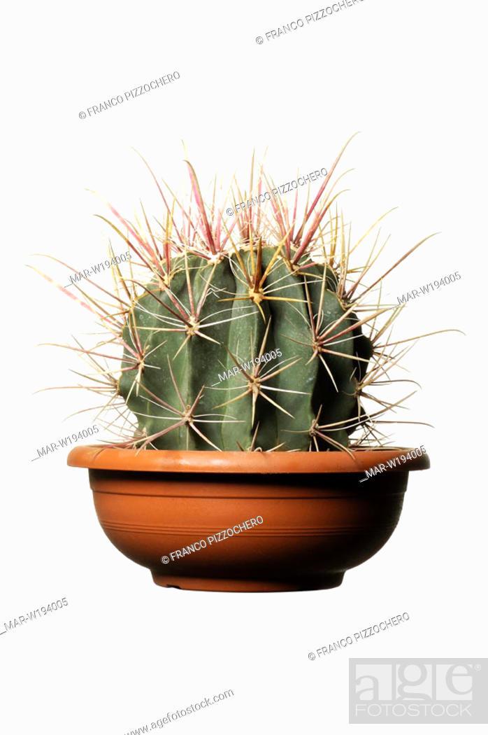 Stock Photo: ferocactus peninsulae.