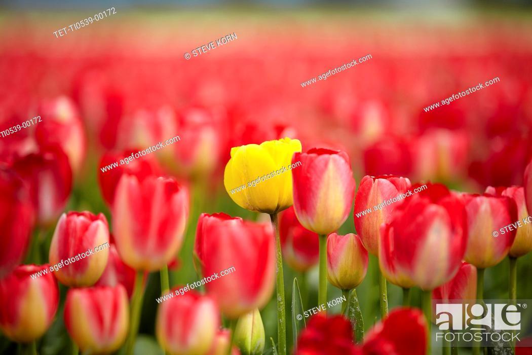 Stock Photo: Yellow tulip among red ones.