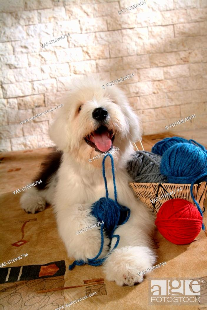 Stock Photo: pose, sheepdog, house pet, canines, domestic, posed, old english sheepdog.