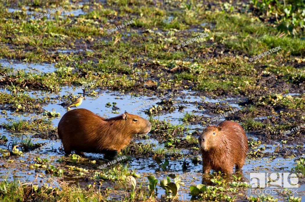 Stock Photo: Brazil, Southern Pantanal, San Francisco Ranch, Capybaras Hydrochoerus Hydrochaeris In Swamp.