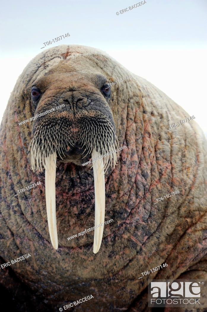 Stock Photo: Portrait of walrus Odobenus rosmarus Foxe Basin, Nunavut, Canada.