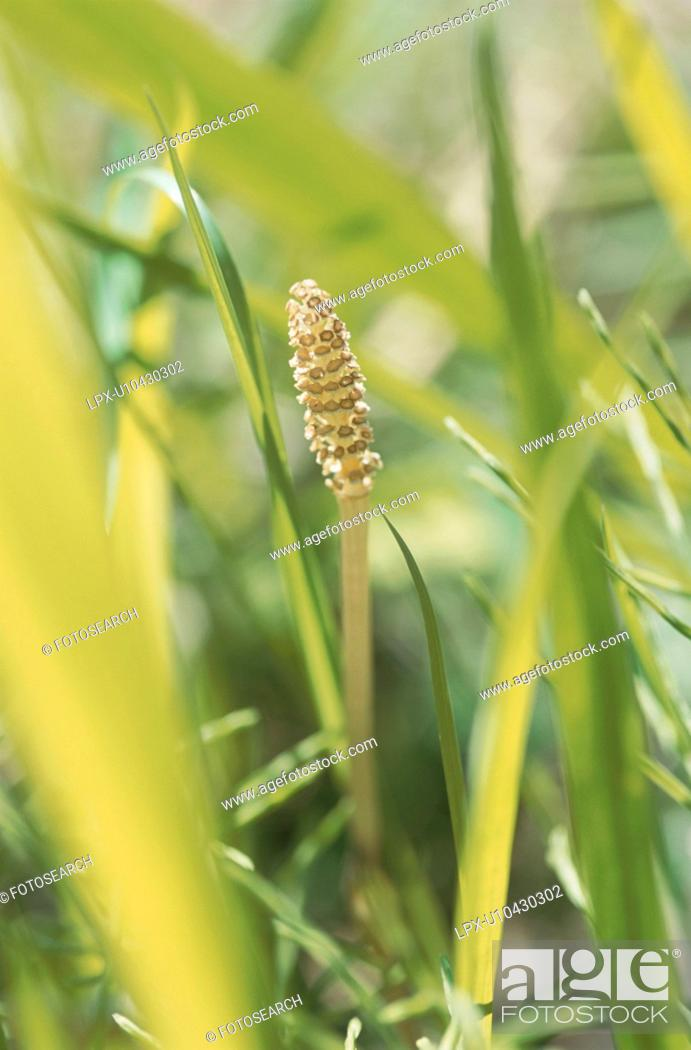 Stock Photo: Close Up Image of Horsetail.