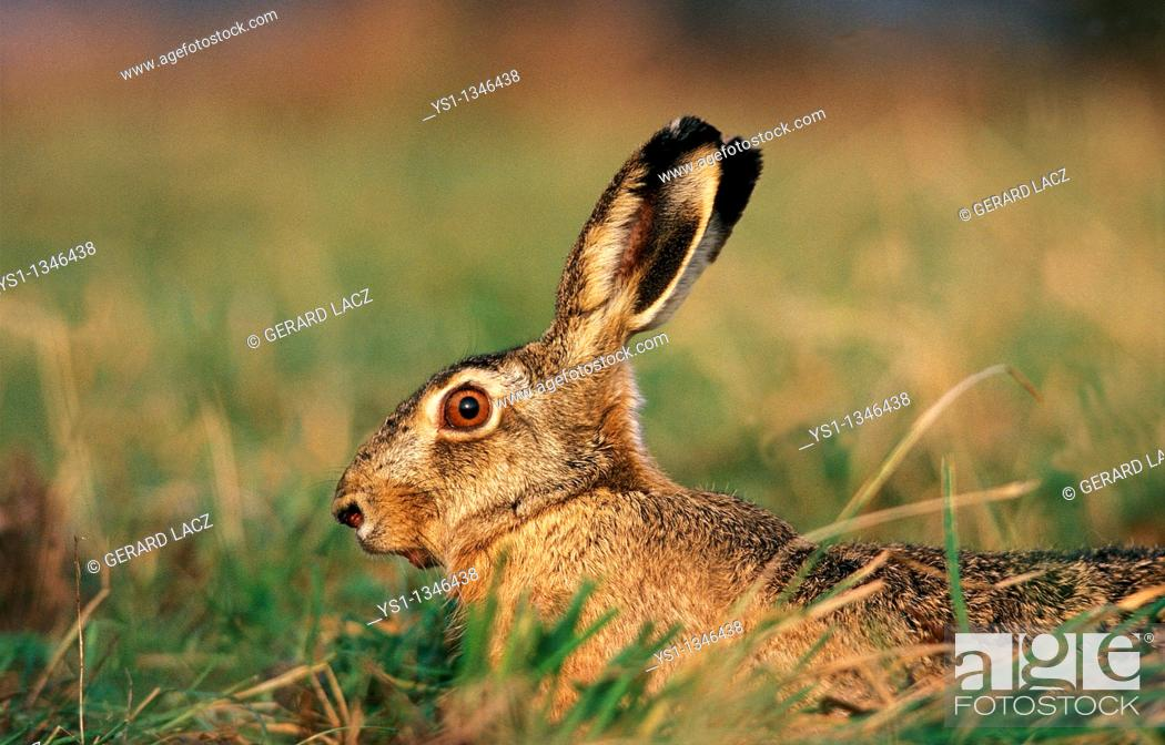 Stock Photo: EUROPEAN BROWN HARE lepus europaeus, ADULT LOOKING OUT.
