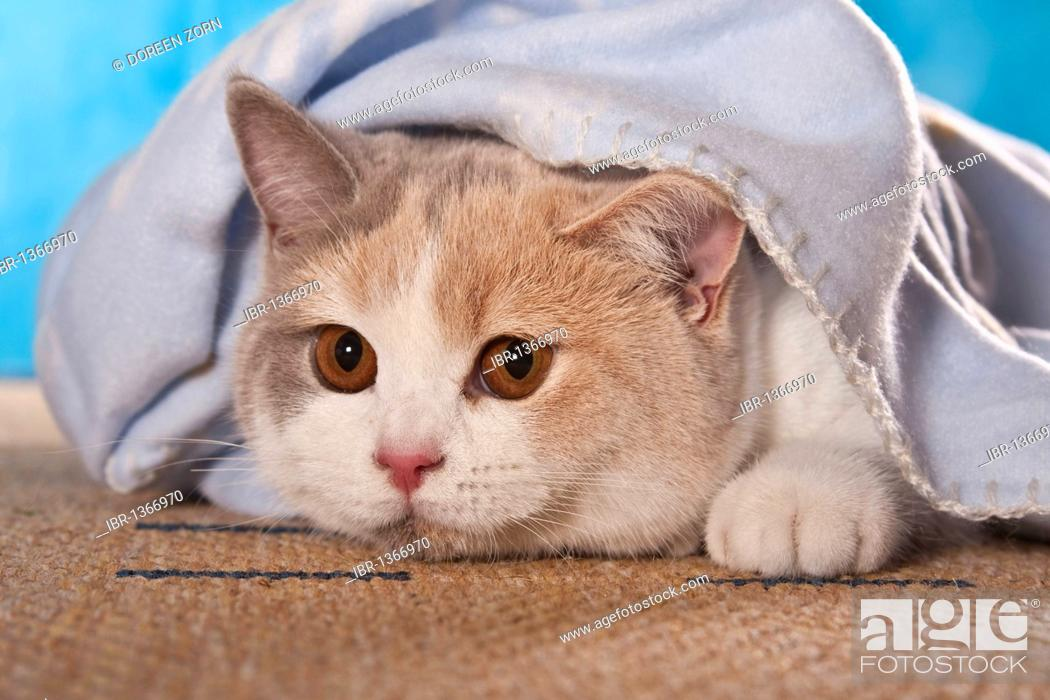 Stock Photo: British Shorthair cat looking out from under a blanket.