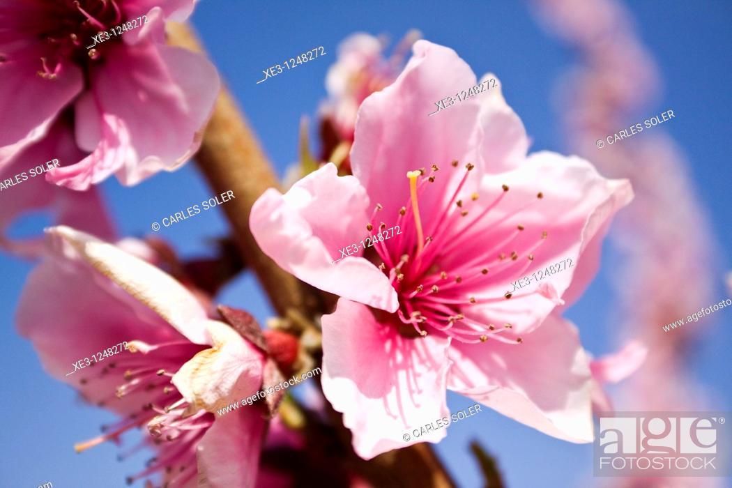 Stock Photo: Flor del almendro.