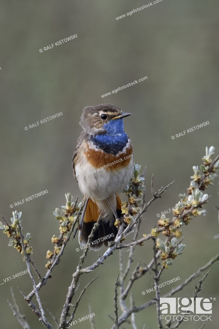 Stock Photo: Bluethroat / Blaukehlchen ( Luscinia svecica ) adult white spotted male, perched on seabuckthorn, watching, territorial behavior, wildlife, Europe. .