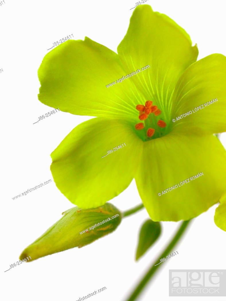 Stock Photo: Bermuda Buttercup (Oxalis pes-caprae).