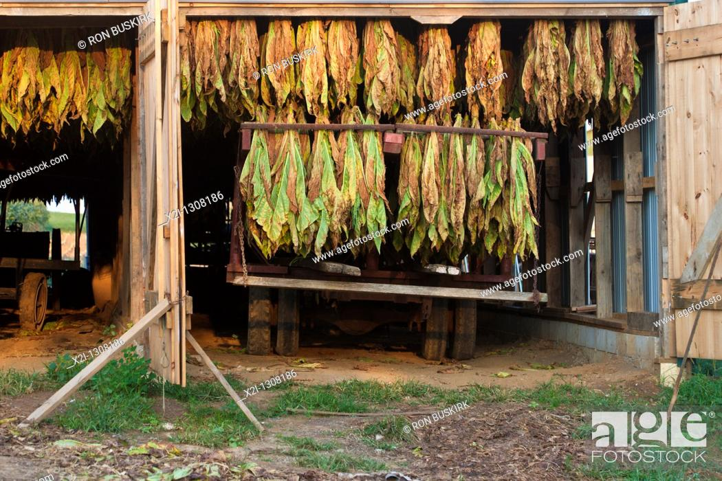 Stock Photo: Tobacco crop hangs to dry inside white barn on Amish farm in Lancaster County, Pennsylvania.