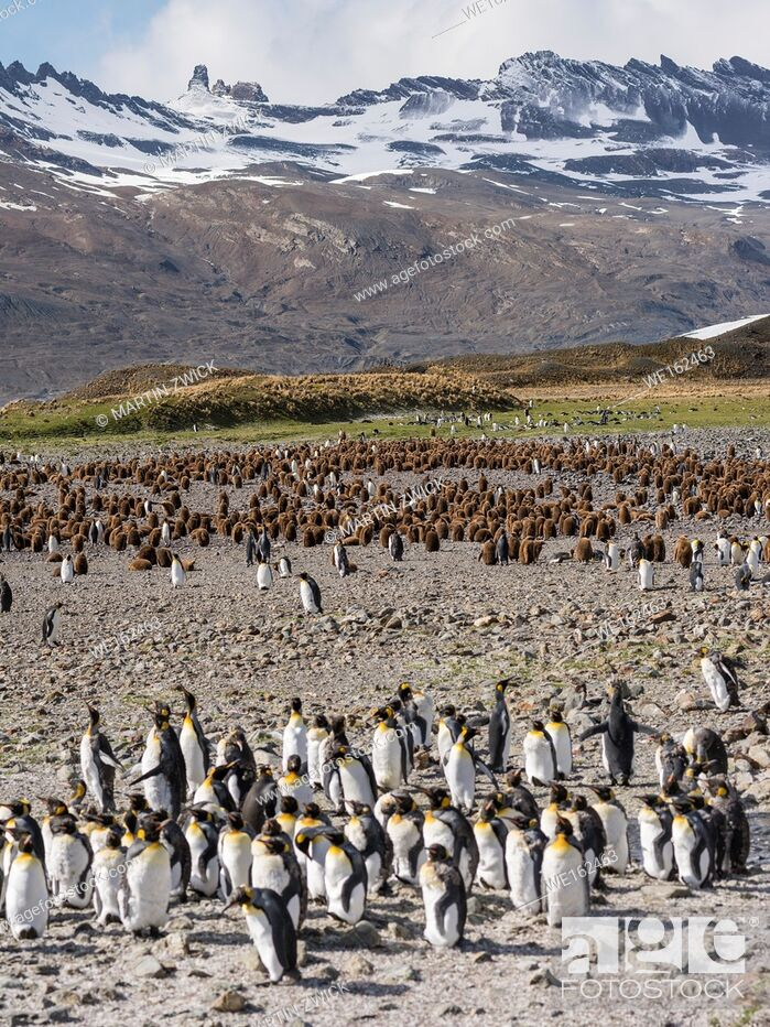 Stock Photo: King Penguin (Aptenodytes patagonicus) on the island of South Georgia, the rookery in Fortuna Bay. Antarctica, Subantarctica, South Georgia.