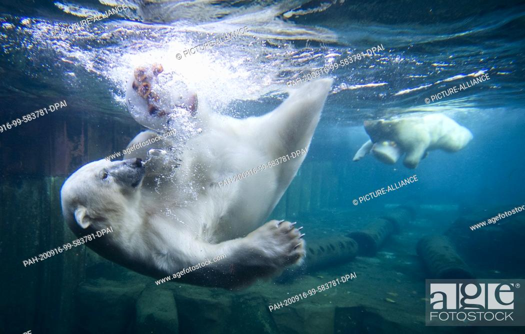 Stock Photo: 16 September 2020, Lower Saxony, Hanover: Two polar bears dive for ice cream cakes in the water basin at Hannover Zoo. Photo: Julian Stratenschulte/dpa.