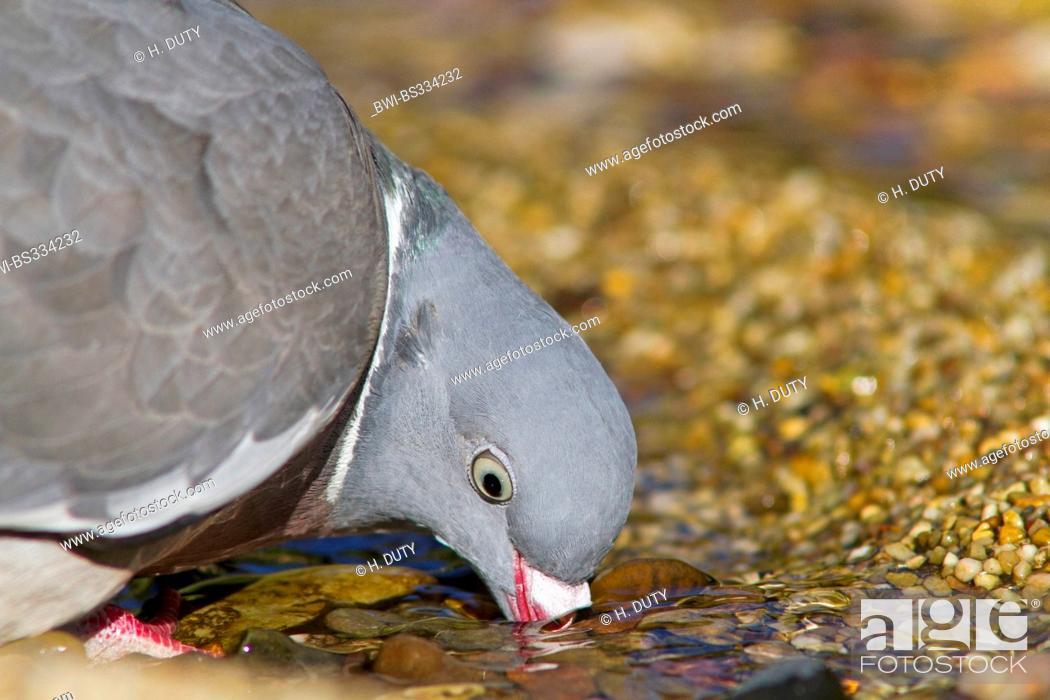 Stock Photo: wood pigeon (Columba palumbus), drinking, Germany, Mecklenburg-Western Pomerania.