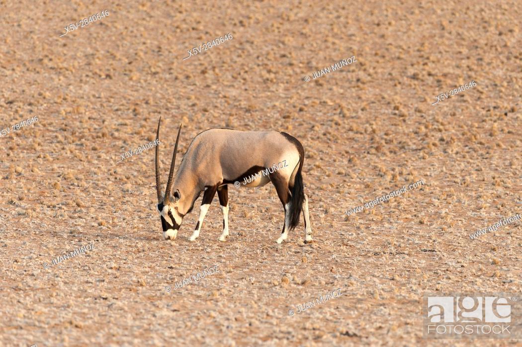 Stock Photo: Cape oryx (Oryx Gazella). Namib Naukluft Park. Namibia. Africa.