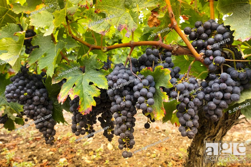 Stock Photo: Vineyards. Pomerol. Bordeaux wine region. Aquitaine Region, Gironde Department. France Europe.