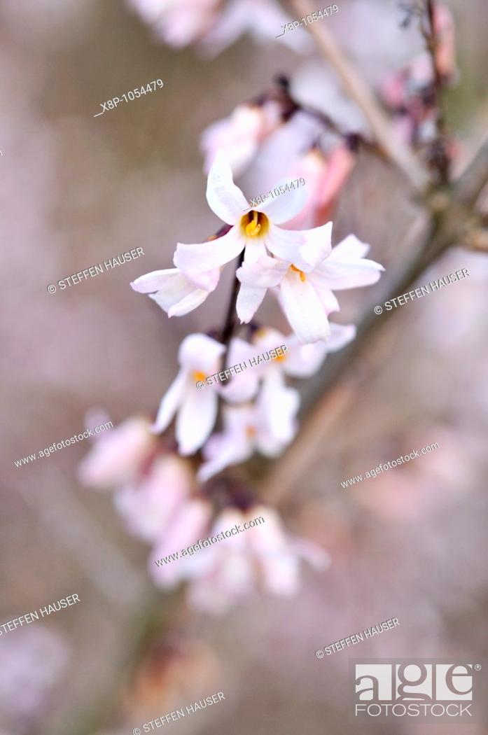 Stock Photo: White forsythia Abeliophyllum distichum.