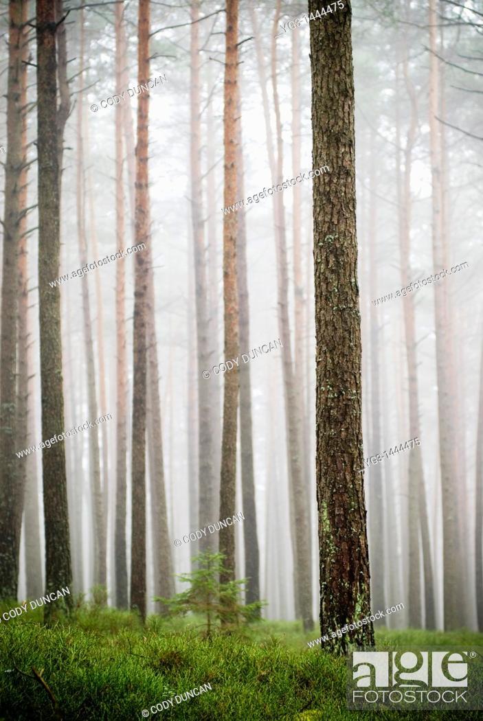 Stock Photo: Foggy forest near Auerbach, Germany.