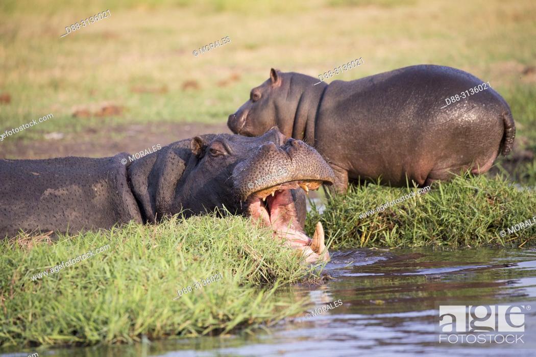 Stock Photo: Africa, Southern Africa, Bostwana, Chobe i National Park, Chobe river, Common hippopotamus or Hippo (Hippopotamus amphibius), in the water.