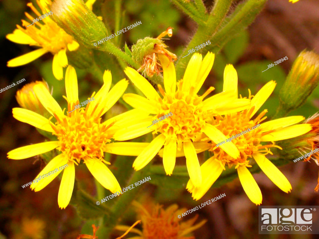 Stock Photo: Ragwort (Senecio jacobaea).