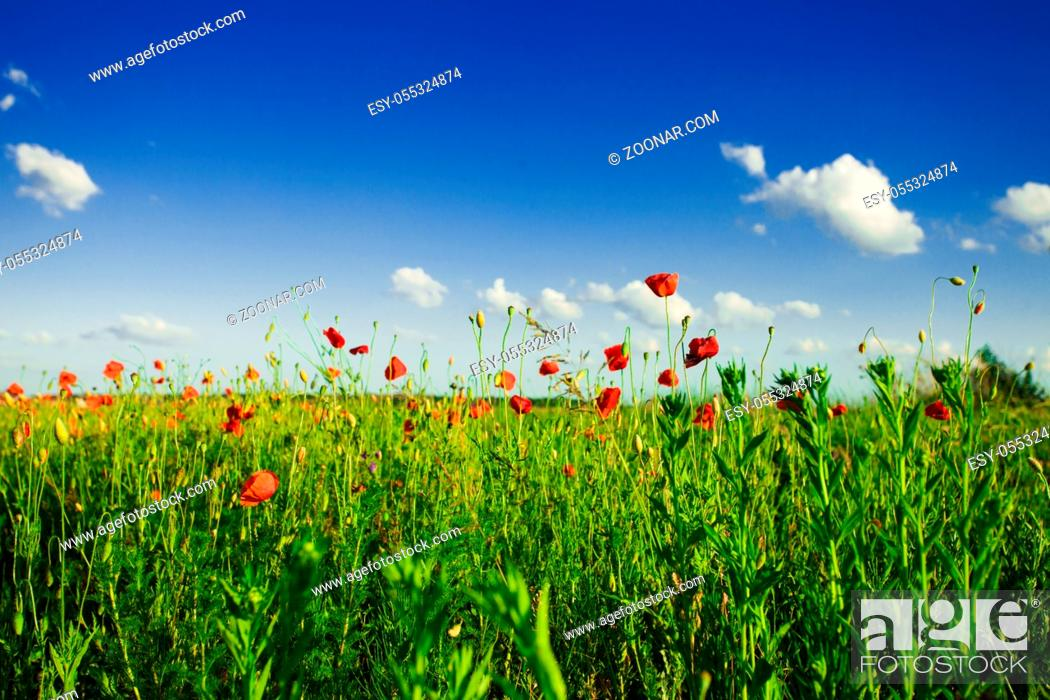 Stock Photo: Poppies field over blue sky with sunshine.