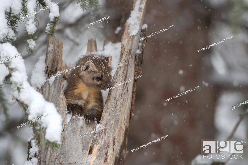 Stock Photo: American Pine Marten / Baummarder (Martes americana) in winter, sitting in a tree stump during snowfall, looks cute, Montana, USA.