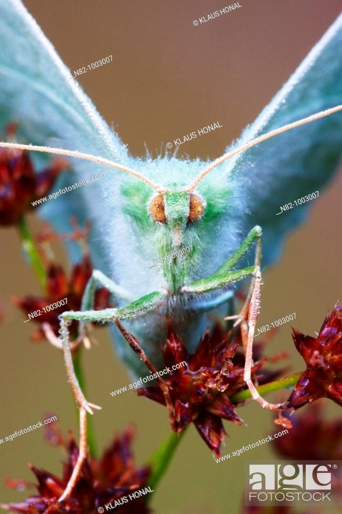 Stock Photo: Close up of Large Emerald butterfly Geometra papilionaria in dew - Bavaria / Germany.