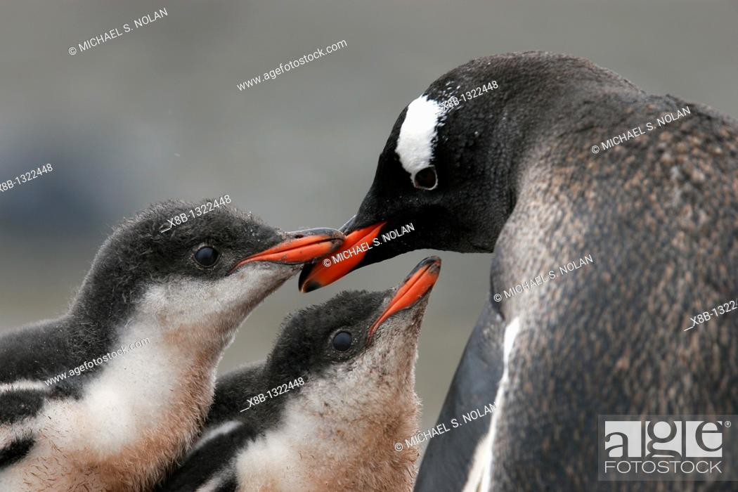 Stock Photo: Gentoo penguin Pygoscelis papua parent feeding two downy chicks in the Aitcho Island Group near the Antarctic Peninsula.