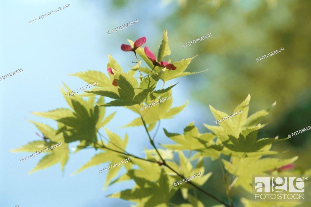 Stock Photo: Maple Branch.