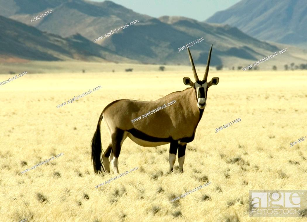 Stock Photo: gemsbock, beisa (Oryx gazella), in savannah in front of the tiras Mountains, Namibia, Tirasberge.