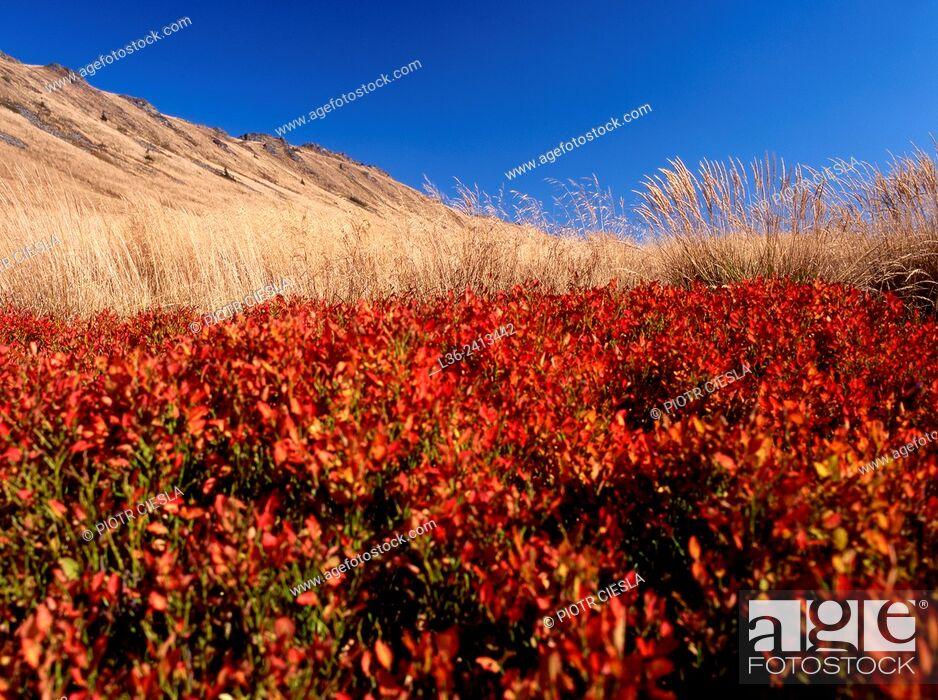 Stock Photo: Blackberries in autumn. Bieszczady National Park. Bieszczady mountains. Poland.